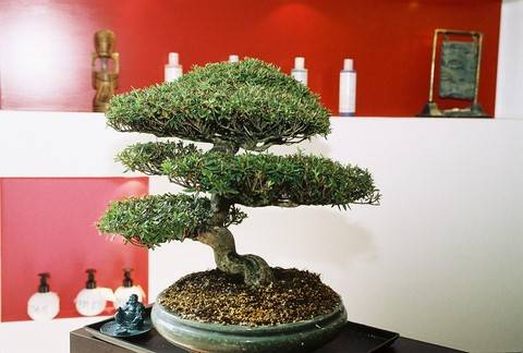 Bonsai déco salon